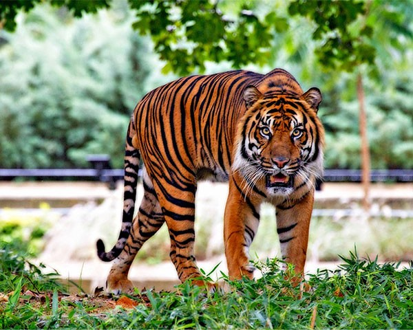Indian tiger in the jungle