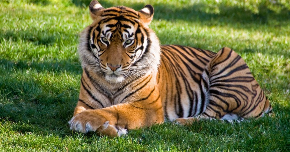 Foto Tiger