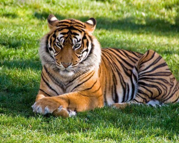 nadia tiger coronavirus