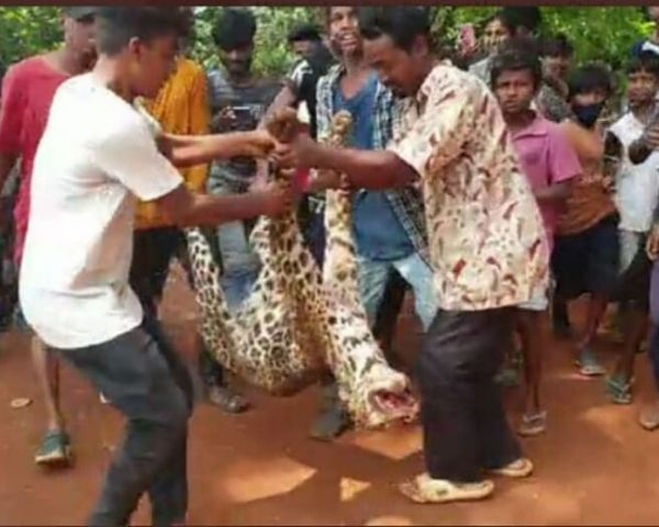 leopard killed in assam